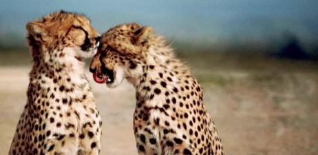 Gepardo bi. CC-by:Stolz, Gary M., U.S. Fish and Wildlife Service