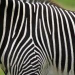 Zebrabide bat nola arrakastaz gurutzatu