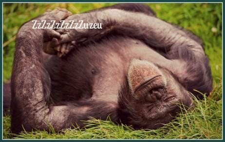 Animals_Monkeys_Sleeping_monkey_033911_