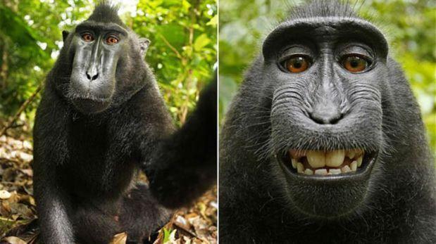Wikimedia epaitegietara eraman duen makako-selfiea