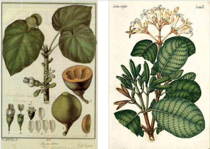 Juan Jose Tafalla, Corellako botanikari handia